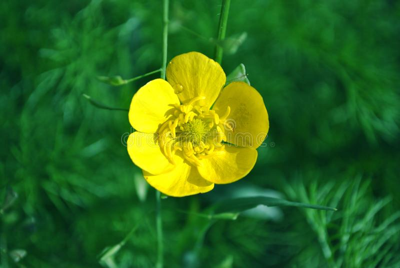 Blooming flower of yellow Caltha buttercup with green leaves blurry background, close up detail. Top view stock photo