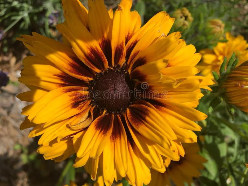 Blooming Flower Yellow royalty free stock images