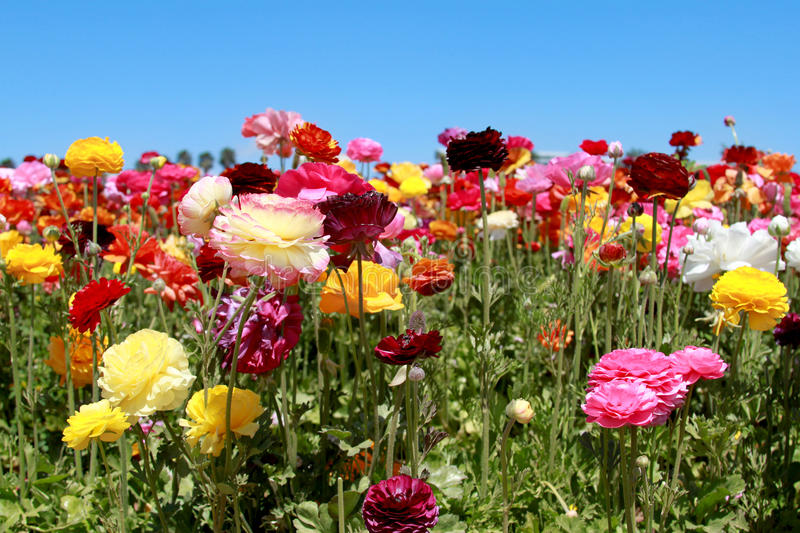 Blooming flowers. Blooming colorful flowers with background of blue sky stock image