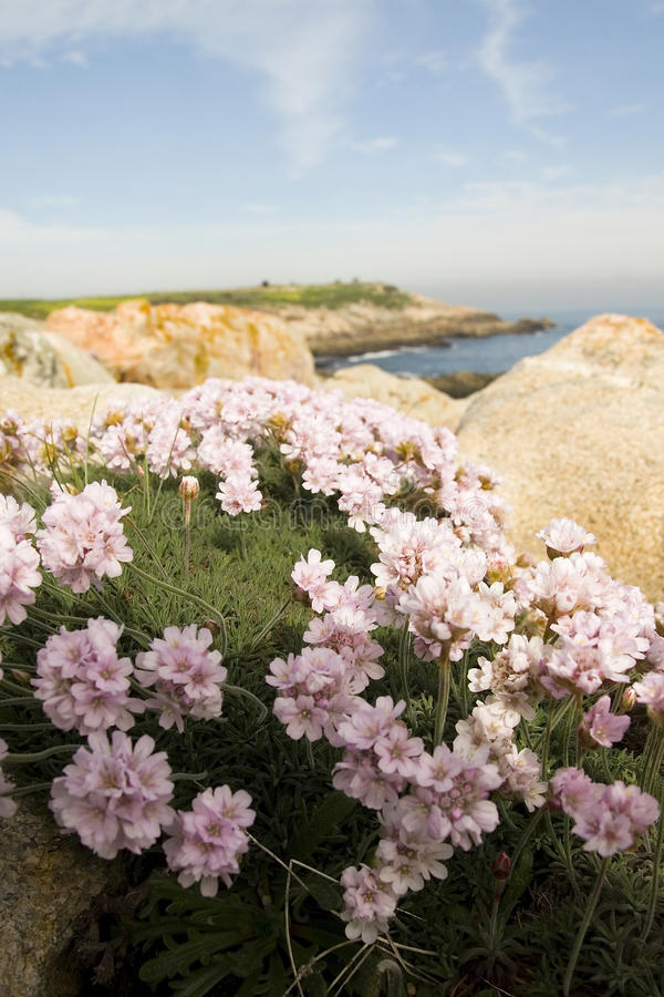Blooming flowers on coastline. Blooming purple flowers on rocky coastline with sea in background stock photo