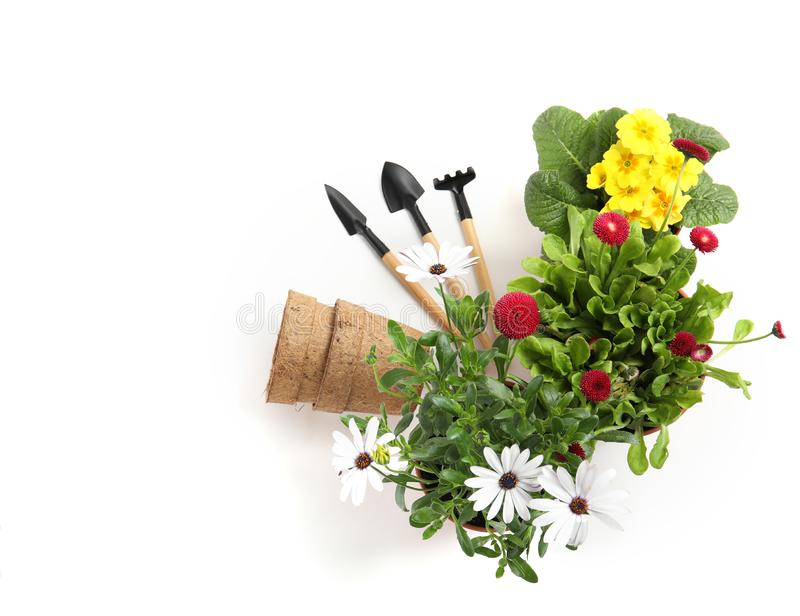 Blooming flowers and gardening equipment on white, top view. Blooming flowers and gardening equipment on white background, top view royalty free stock image
