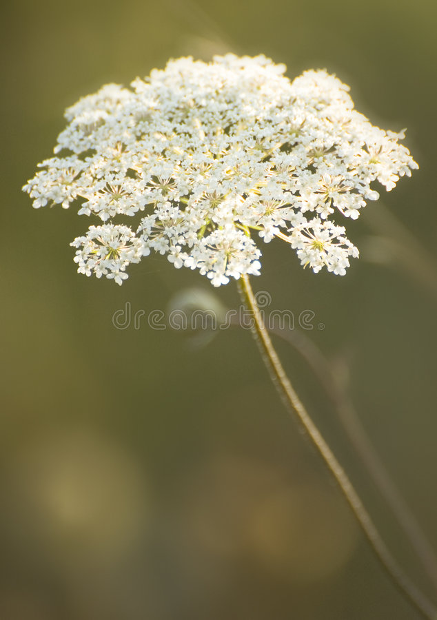 Blooming flowers in Oregon's Willamette Valley. A wild flower blooms in a field in Oregon's Willamette Valley royalty free stock photo
