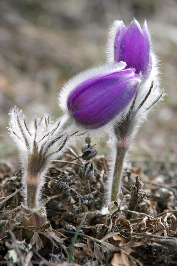 Blooming flowers of pasqueflower stock photography