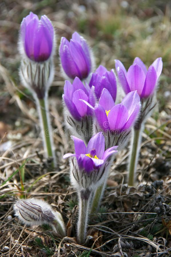Blooming flowers of pasqueflower royalty free stock photography