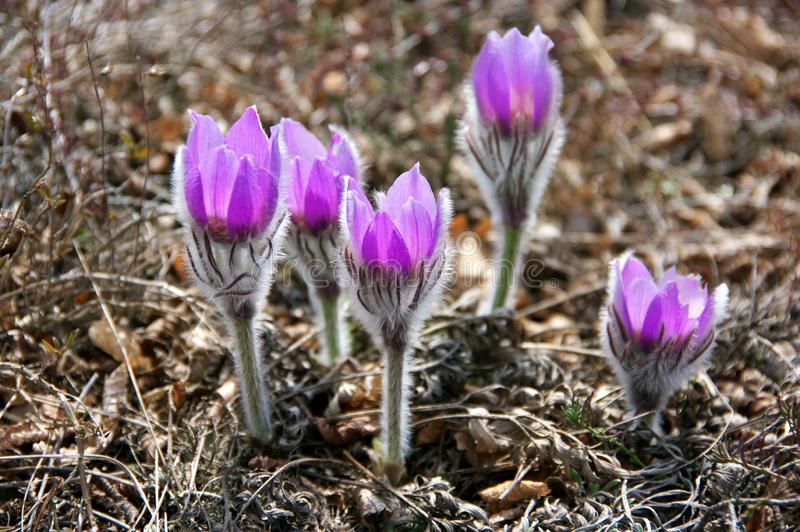 Blooming flowers of pasqueflower royalty free stock image