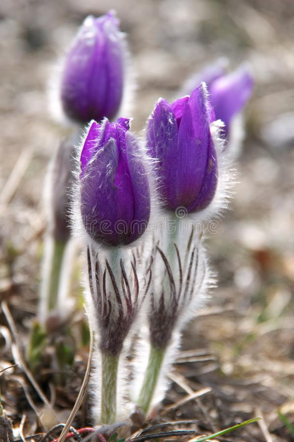 Blooming flowers of pasqueflower royalty free stock photo
