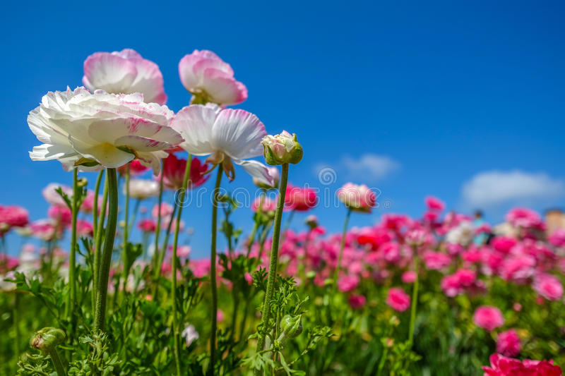 Blooming flowers in Spring. Blooming white and pink Ranunculus buttercup Picotee flowers in Carlsbad Flower Field, California royalty free stock images