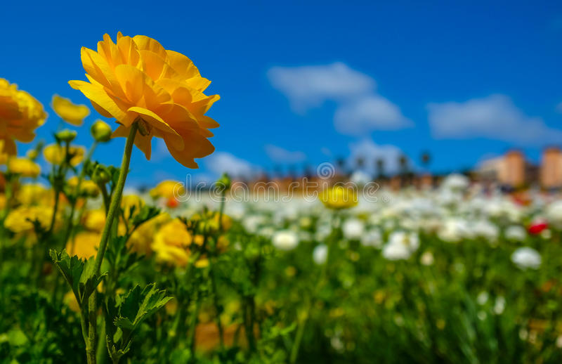Blooming flowers in Spring. Blooming yellow Ranunculus buttercup flowers standing out in front of white Rannunculus flowers, Carlsbad Flower Field, California royalty free stock image