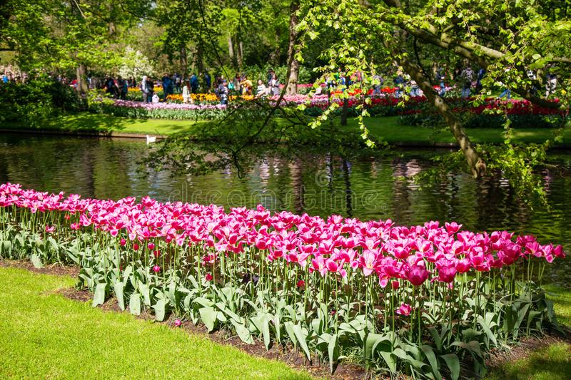 Blooming flowers tulips lawn in Netherlands during spring. Tulips in public park.  stock images