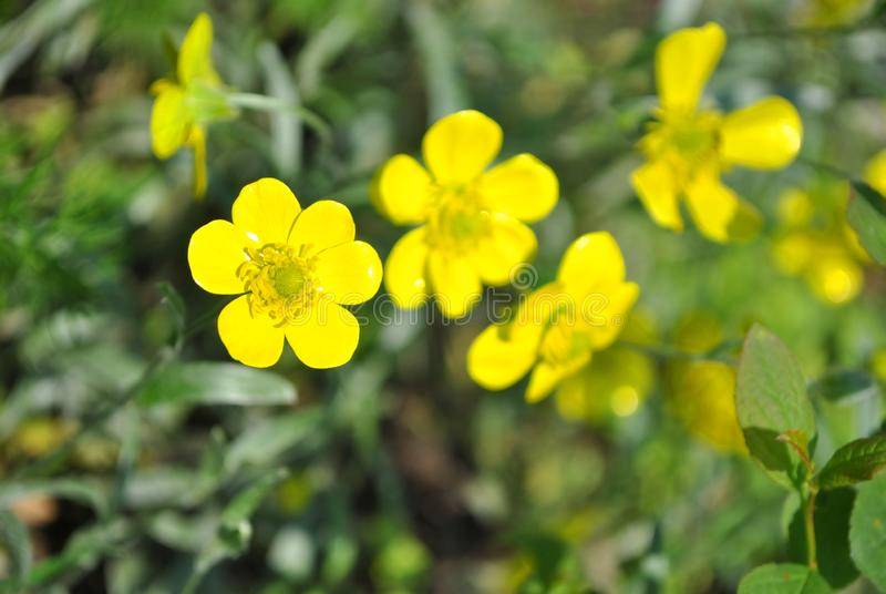 Blooming flowers of yellow Caltha buttercup with green leaves blurry background royalty free stock photos