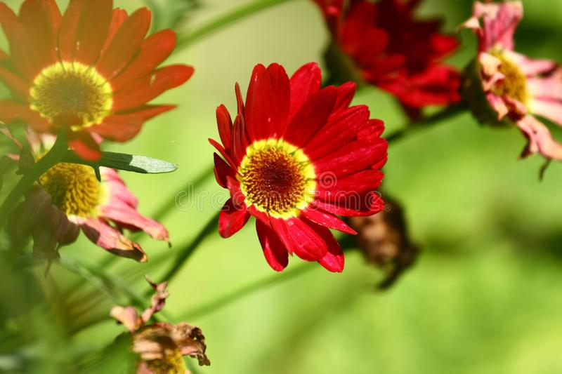 Flowers zinnia royalty free stock images