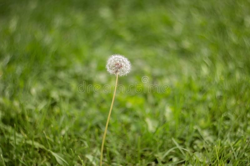 Blooming fluffy white dandelion in the green grass in the meadow. Natural green grass background. Dandelion in the field stock photo
