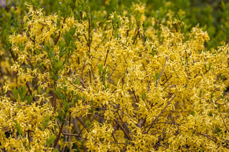 Blooming forsythia bush in spring park stock images