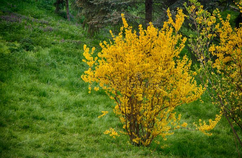 Blooming forsythia in early spring, yellow flowers. Background royalty free stock photos