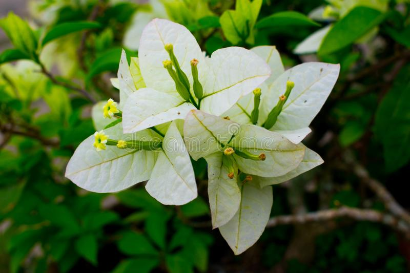 A blooming fresh and vivid white Bougainvillea flower stock photo