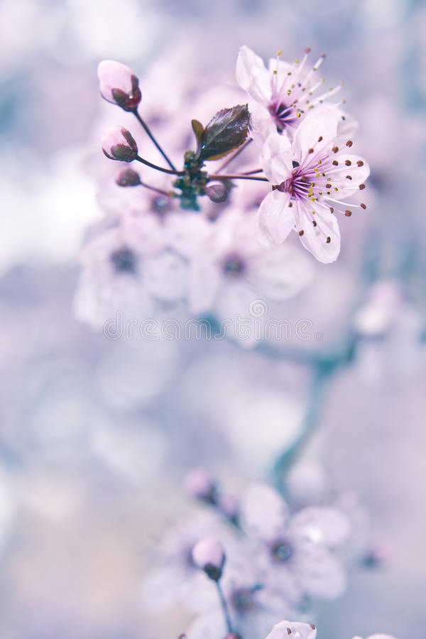 Blooming Fruit Tree Royalty Free Stock Photography