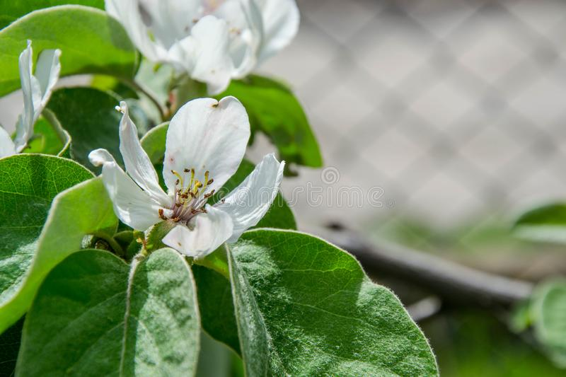 Blooming fruit tree. Tiny beautiful white flowers in the garden. Spring nature close-up, single flower selective focus, blurred royalty free stock photo