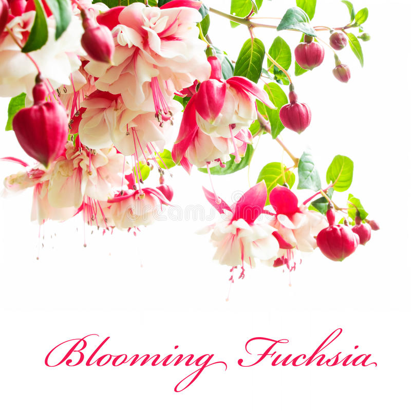 Download Blooming fuchsia stock image. Image of fleur, pink, close - 24010869