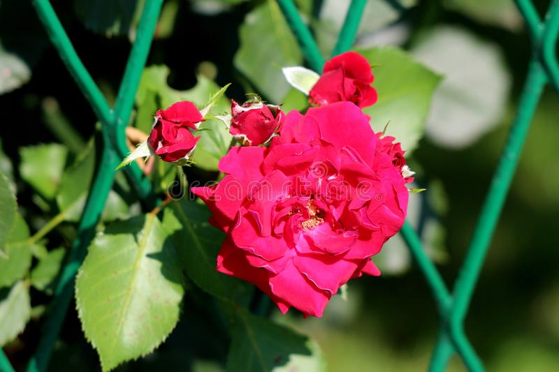 Blooming fully open rose with thick red petals surrounded with small flower buds starting to open growing through metal fence stock photography