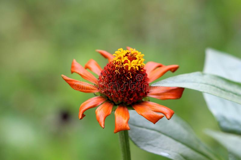 Blooming fully open Zinnia flower with single row of orange petals started to shrivel and wither surrounded with thick dark green. Leaves in local garden on stock image