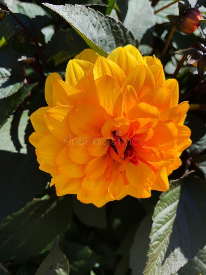 Close up of yellow garden flower summer bloom stock image