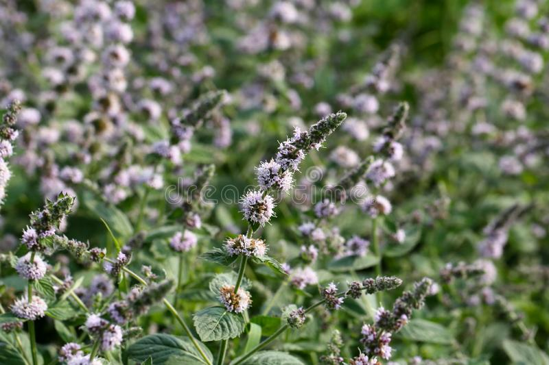 Mint flowers royalty free stock images