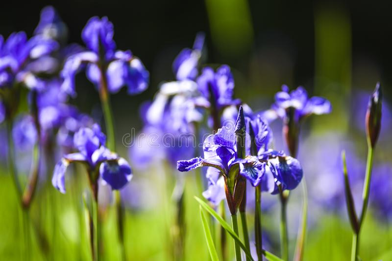 Blooming in the garden of purple spring flowers stock photos