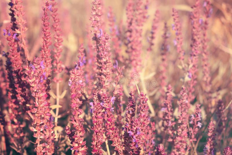 Blooming garden sage (common sage, culinary sage), Salvia officinalis. Field of fresh purple flowers. Pink summer meadow sage royalty free stock image