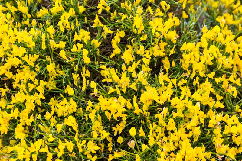 Blooming genista lydia in spring stock photo