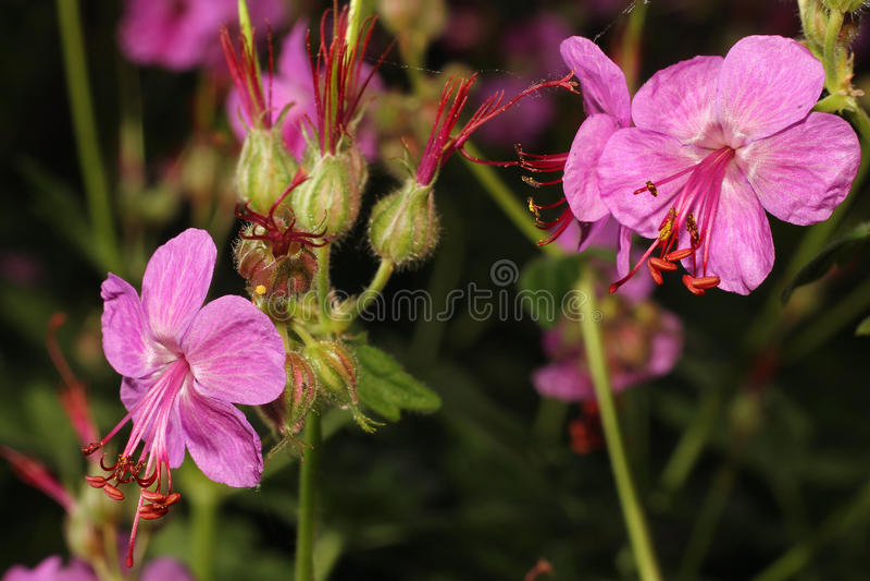 Blooming geranium close-up royalty free stock image