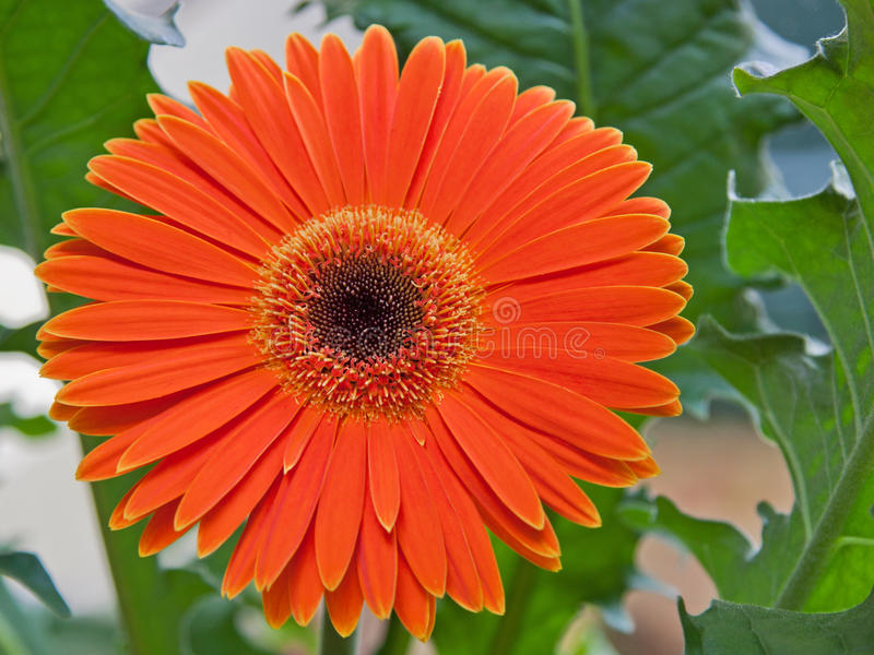 Blooming Gerbera Flower stock image