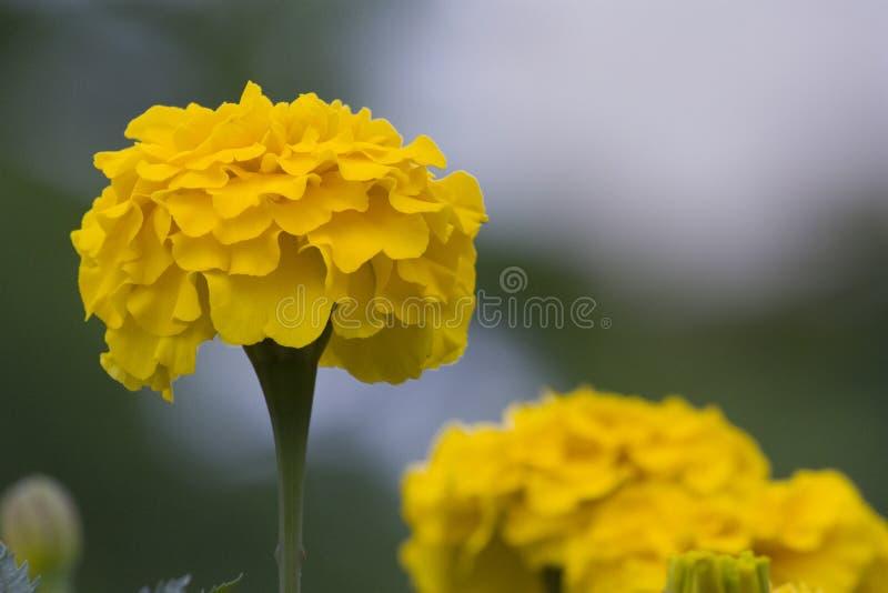 Autumn golden chrysanthemum, golden flower, chrysanthemum material royalty free stock images
