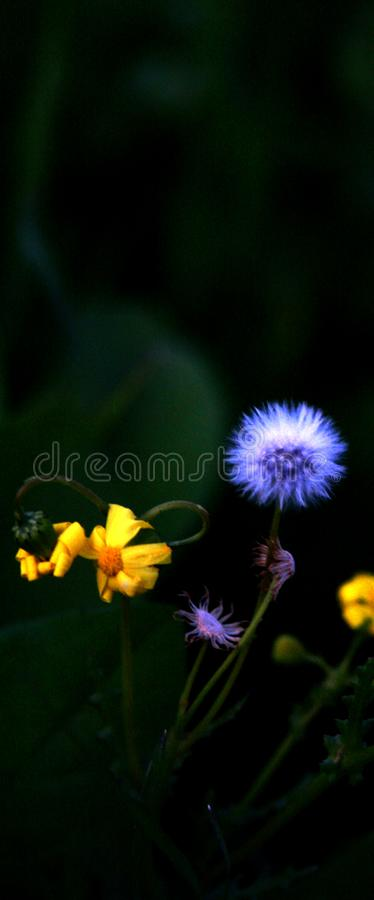 Blooming Groundsel flowers at Modiin Israel. Blooming Groundsel flowers during the twilights of a sunny winter day at Modiin Israel stock photography