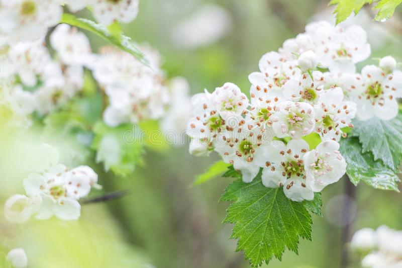 Blooming Hawthorn tree flower bush royalty free stock image