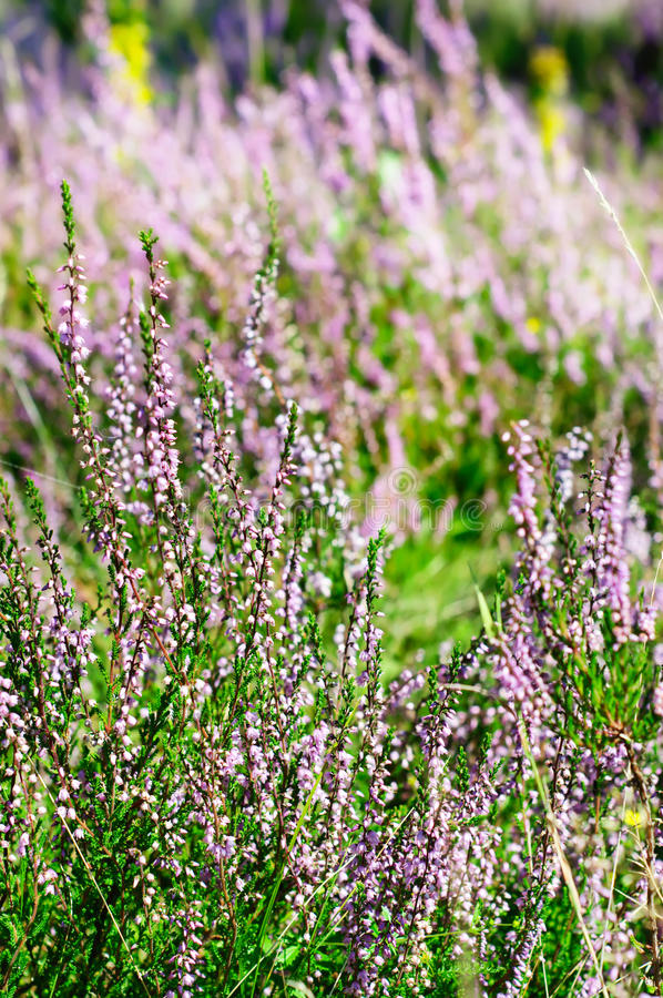 Download Blooming heather stock photo. Image of heathery, ling - 18095900