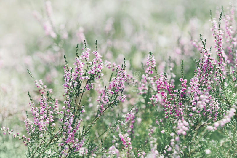 Blooming heather calluna vulgaris, erica, ling in forest. stock images