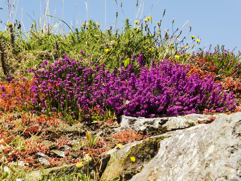 Blooming heathers on the rock royalty free stock photos