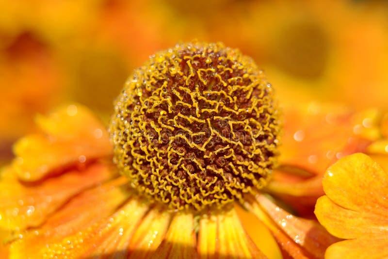 Blooming Helenium royalty free stock photo