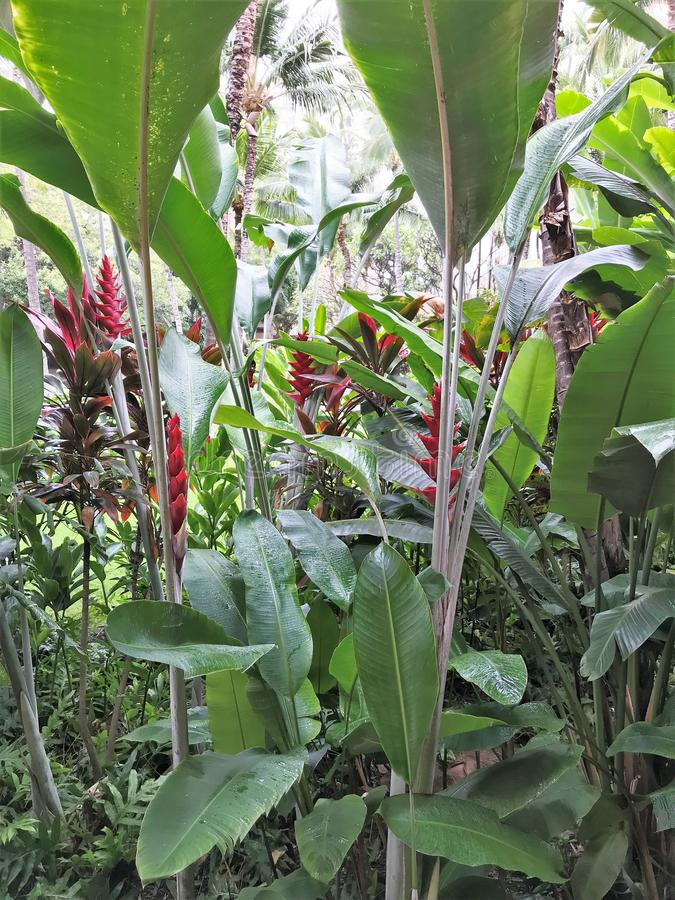 Blooming Heliconia flowers and other vegetation growing in a tropical garden. Blooming Heliconia flowers growing among other tropical vegetation royalty free stock photo