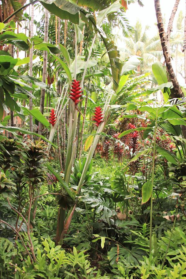 Blooming Heliconia flowers and other vegetation growing in a tropical garden. Blooming Heliconia flowers growing among other tropical vegetation stock photo