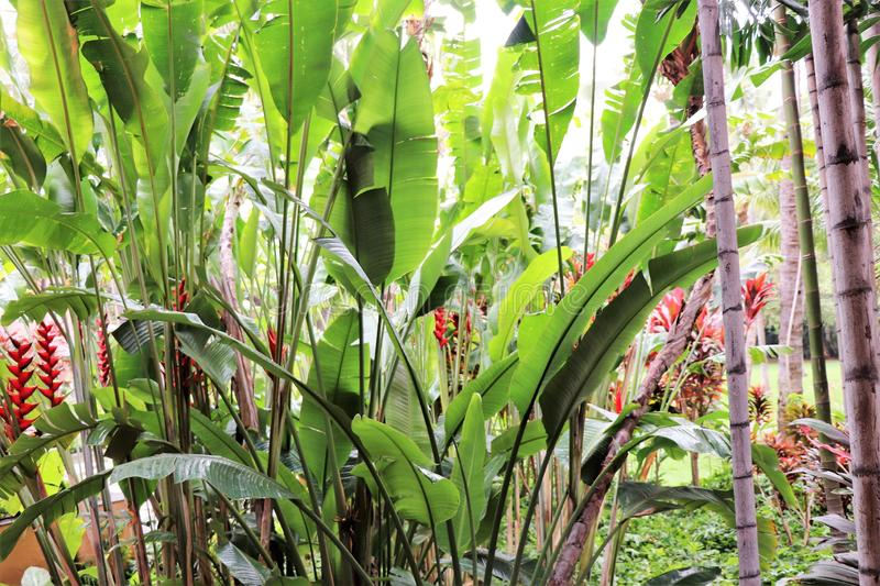 Blooming Heliconia flowers and other vegetation growing in a tropical garden. Blooming Heliconia flowers growing among other tropical vegetation stock image