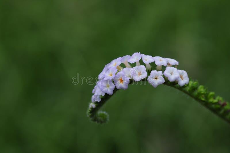 Blooming Heliotropium indicum stock photo