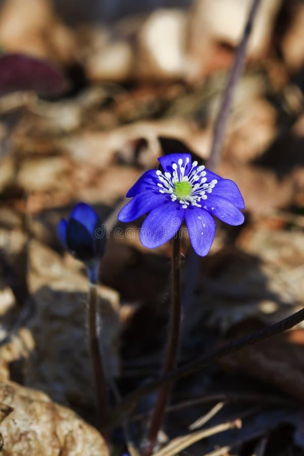 Blooming hepatica royalty free stock image