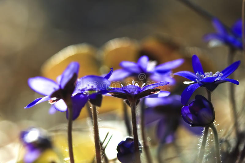 Blooming hepatica royalty free stock photos