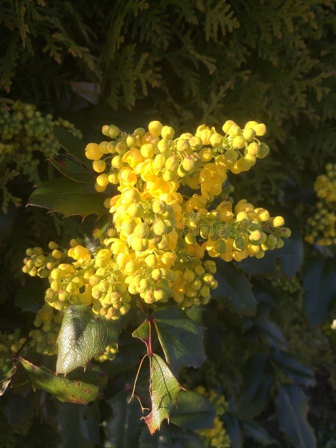 Blooming Holly fotos de stock