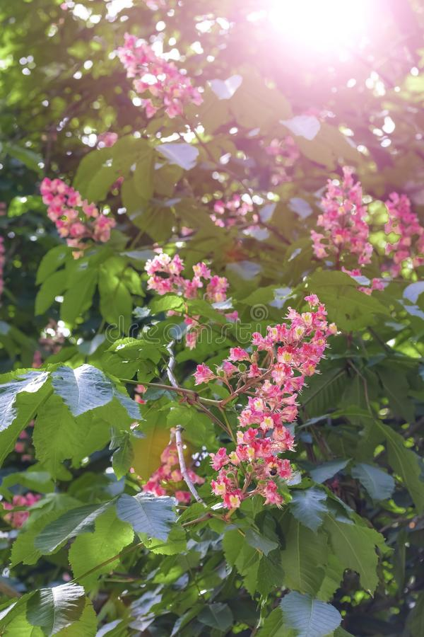 Blooming horse chestnut pink. Flowers on a branch with green foliage stock image