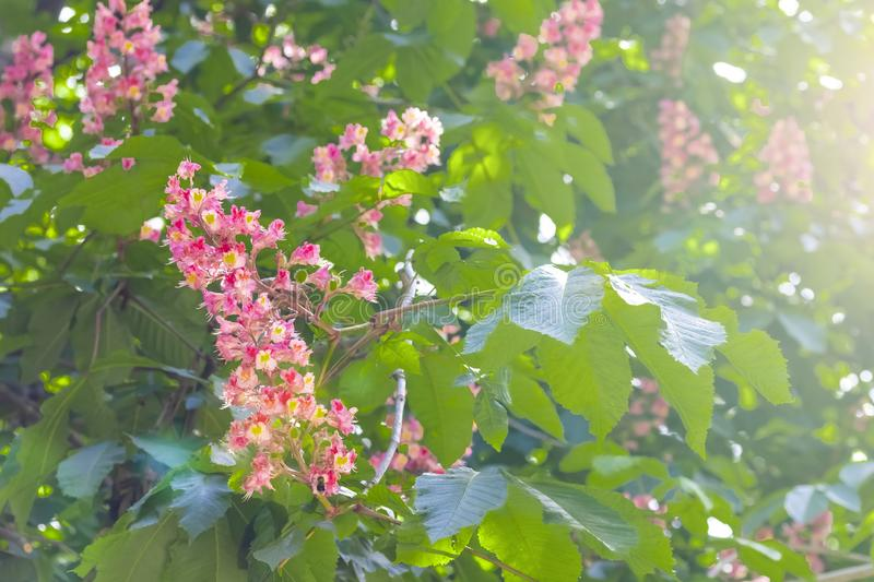 Blooming horse chestnut pink. Flowers on a branch with green foliage royalty free stock image