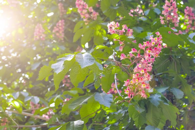Blooming horse chestnut pink. Flowers on a branch with green foliage stock images