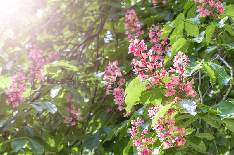Blooming horse chestnut pink. Flowers on a branch with green foliage royalty free stock photo