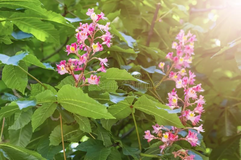Blooming horse chestnut pink. Flowers on a branch with green foliage stock photos